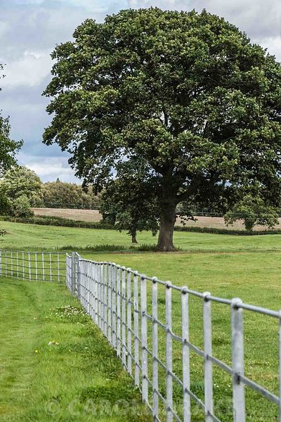 Metal park railings give an airy open feeling between garden and surrounding farmland, with fine oak tree. Rhodds Farm, Kington, Herefordshire, UK