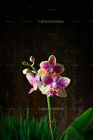Lonely Orchid.