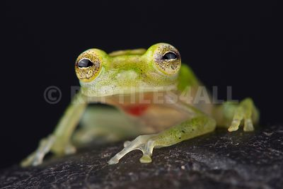 Yaku glassfrog (Hyalinobatrachium yaku)  photos