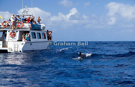 Whale watching boat and Pilot Whale, Globicephala macrorhynchus,Los Gigantes, Tenerife, Canary Islands, Spain.