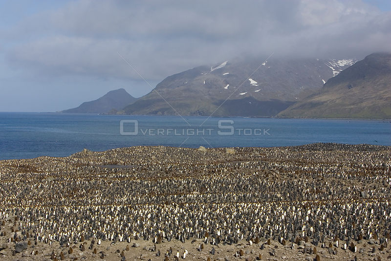 Aerial view of large colony of King Penguins(Aptenodytes patagonicus) with chicks and adults, Saint Andrews Bay, South Georgia