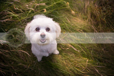 small fluffy happy dog looking upward sitting in natural grasses