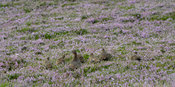 Red Grouse, Lagopus lagopus scotica, with a brood of chicks on a heather moorland, North Yorkshire, UK.