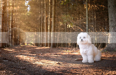small white groomed havanese dog sitting in a pine forest