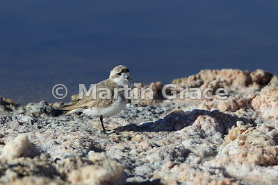 Immature Puna Plover (Charadrius alticola) in the Salar de Atacama salt pan, Atacama Desert