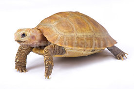 Elongated tortoise, Indotestudo elongata