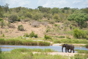 Elephant at the Sabie River, Loxodonta africana, Kruger National Park, South Africa