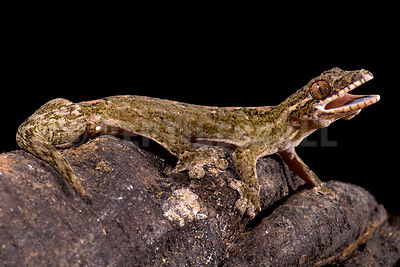 Giant turnip-tailed gecko (Thecadactylus rapicauda) photos