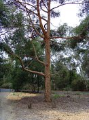 Eucalyptus eugenioides, Thion leaved Stringybark