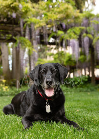 Senior black lab lying on grass in front of trellis with Wisteria