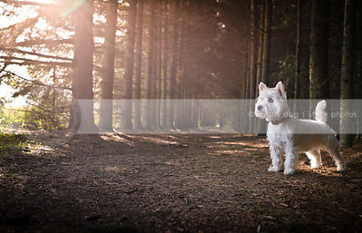 alert small white dog standing in forest with sunflare