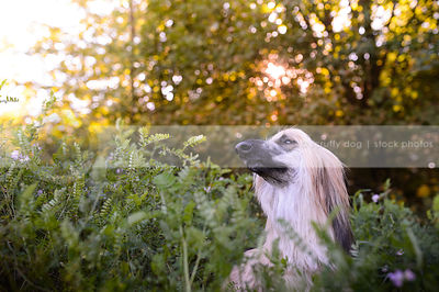 longhaired afghan hound dog in sparkly vegetation