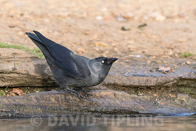 Jack Daw (Western Jackdaw) Corvus monedula.drinking Bushy Park London October