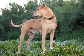 Tan Pitbull Mix in Red Collar Standing in Profile