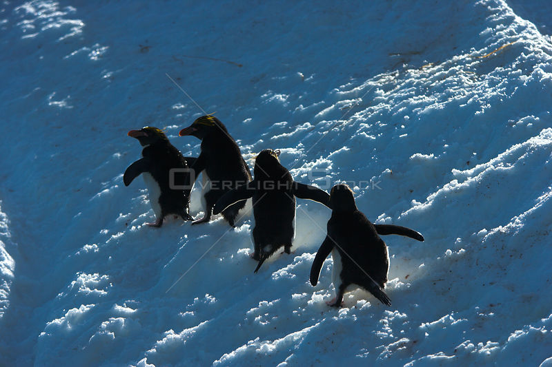 Four Macaroni penguin (Eudyptes chrysolophus) walking across glacier, South Georgia