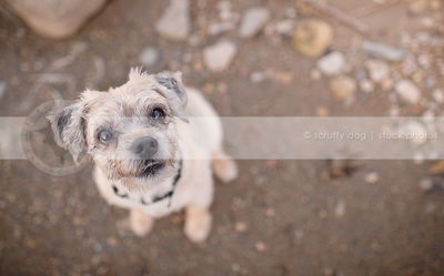 overhead stock image of small terrier dog staring up from stones