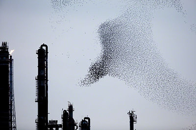 Refinery Flocks 7, 2009