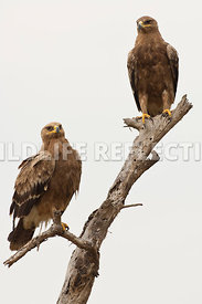 steppe_eagle_dual_branch_3