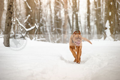 wild giant breed red dog running towards camera down snowy trail