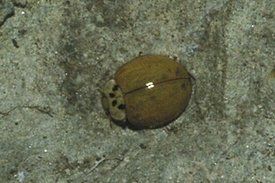Coccinellidae species