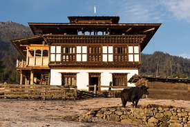 Local house and a cow in Phobjikha valley, a vast U-shaped glacial valley, also known as Gangteng Valley in Bhutan.