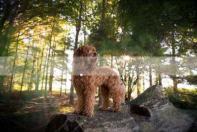 red mini doodle dog standing on log in pines with sunshine