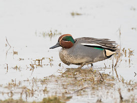 Teal Anas crecca male North Norfolk February
