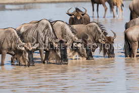 wildebeest_lake_crossing_sequence_02242015-18
