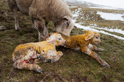 Texel ewe with newborn twin lambs in snowy field.