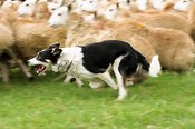 Collie sheepdog rounding sheep up
