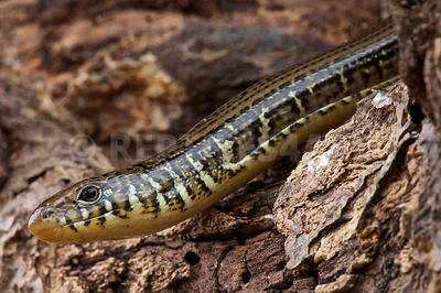 eastern glass lizard (Ophisaurus ventralis) photos