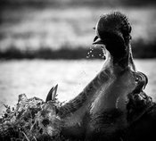 4190-Hippo_opening_his_big_mouth_Laurent_Baheux