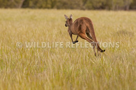 kangaroo_western_grey_hopping_away-1