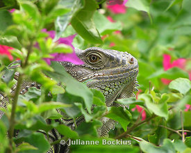 Iguana in Bougainvillea