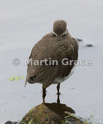 Common Sandpiper (Actitis hypoleucos) roosting,  Knowsley, Merseyside, England