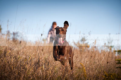 happy brown shorthaired pointer dog running in field