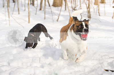 crazy saint bernard running playing with ball in snow