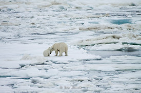 A female polar bear and her cub interact amongst the ice floes near Svalbard, Norway.