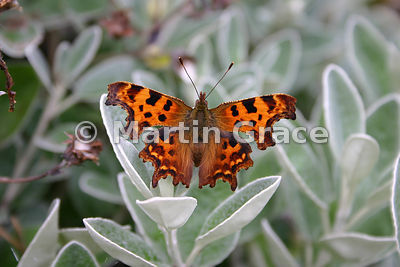 Upper side of a Comma butterfly (Polygonia c-album) resting on a garden shrub, England