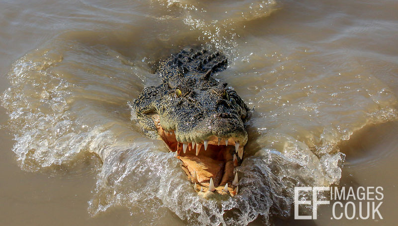 Salt Water Crocodile Approaching Through Water, Close Up, Teeth And Eyes
