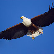 African Fish Eagle in flight against deep blue sky