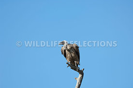 White-Backed Vulture Point
