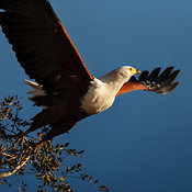 Fish Eagle taking flight