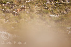 Young chamois (Rupicapra rupicapra) grazzing in the slopes of Pic de la Dona (2702 masl)