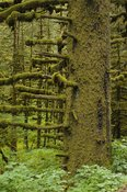 Sitka Spruce Trees