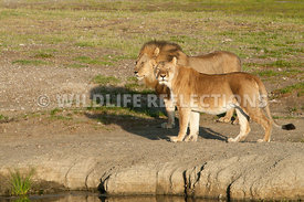 Lion and Lioness at Water Hole Edge 1