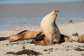 sea_lion_australian_look_up_relaxed-5