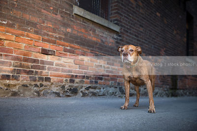 calm old pitbull dog with ears standing in urban alley