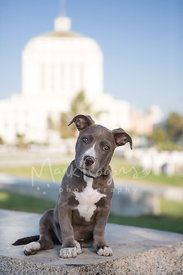Cute Grey and White Pit Bull Puppy Sitting on Wall with Tilted Head