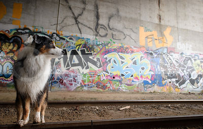 longhaired dog at railway tracks with colorful urban graffiti